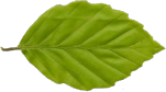Drevesni list